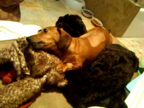dachshund 5 days post herniated disc surgery - YouTube