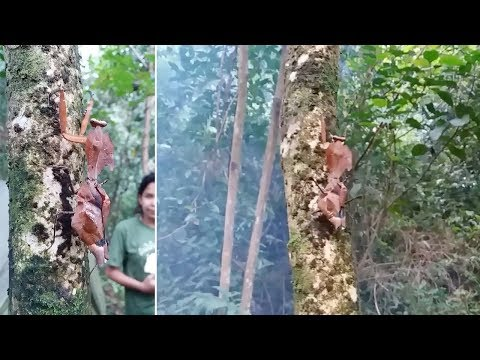 Hiker Amazed By Leaf-Shaped Mantis On Tree