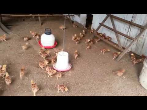 My 2 week old Rhode Island Red chickens