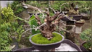 main main lagi ke tempat nya bang kumis siraja bonsai 👍👍👍