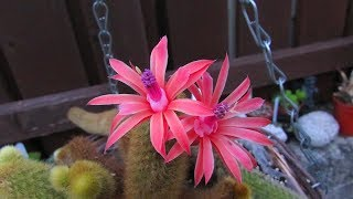 My Cleistocactus winteri 'Golden Rat's Tail Cactus' in beautiful flower