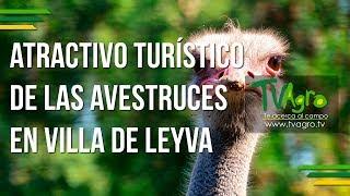 Atractivo Turístico de las Avestruces en Villa de Leyva - TvAgro por Juan Gonzalo Angel