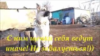 Воспитание щенка ВЕО собаками-родителями!