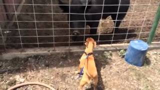 Riley the chiweenie meets Sampson the pig