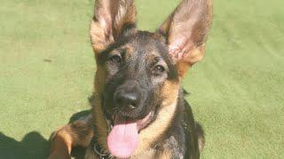 Yavru Alman Çoban Köpeği Eğitimi ! (Alman Kurdu Eğitimi)