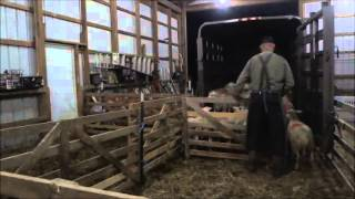 Moving Lambs Stress-free Onto A Trailer