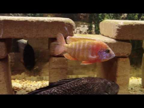 125 Gallon All Male Malawi Cichlid Display Tank