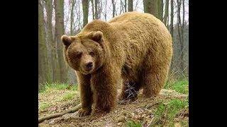 Фильм про медведя Газима