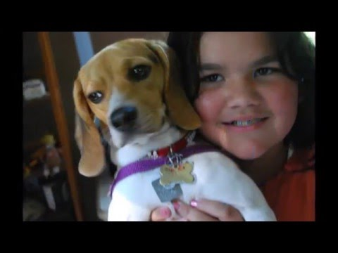 beautiful pictures of Beagle breed dogs