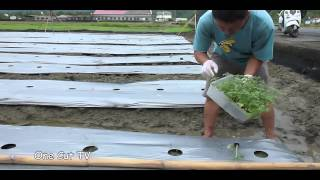 種小番茄植苗方法