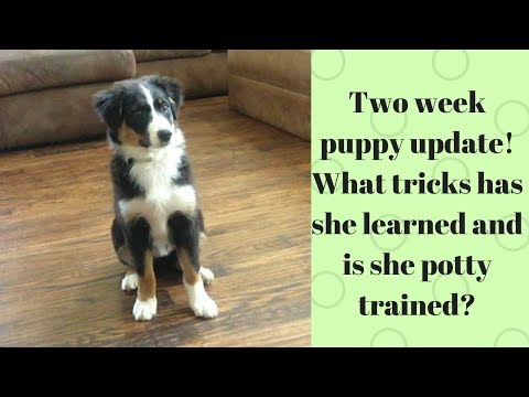 2 week puppy update!-How to potty train a puppy in less than a week! Plus teaching tricks!