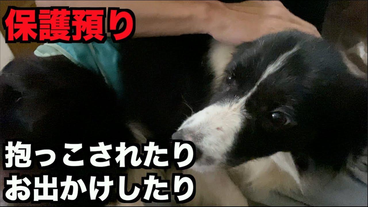 保護犬ボーダーコリー・抱っこされる→固まる【8-9日目】