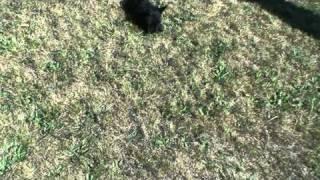 Chiots Scottish Terrier ,première Sortie Au Jardin