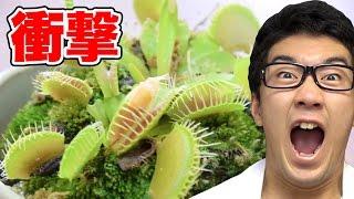 【実験】食虫植物に納豆や高級食材食べさせてみた! thumbnail