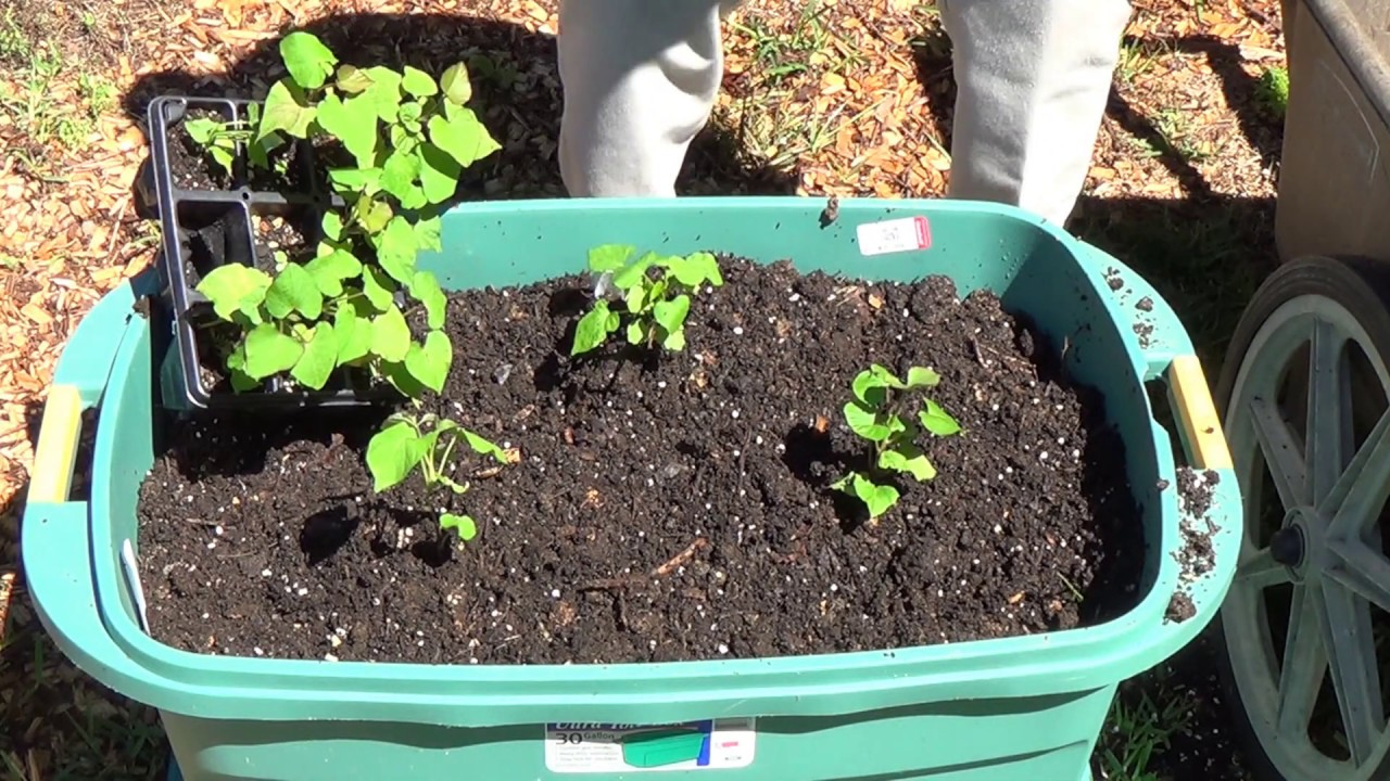 how do i plant potatoes in containers