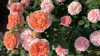Роза Чиппендейл  Rose Chippendale 18.06.2021г. г.Киев