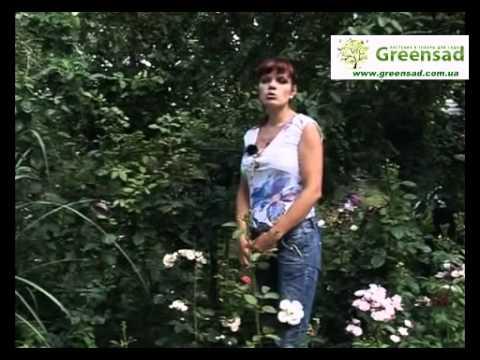 Розы шрабы - современные кустарники