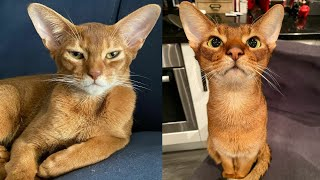 RED ABYSSINIAN CATS 2021