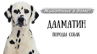 Далматин, далматинец - породы собак.