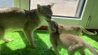 Singapura kittens in Ticino, Switzerland.