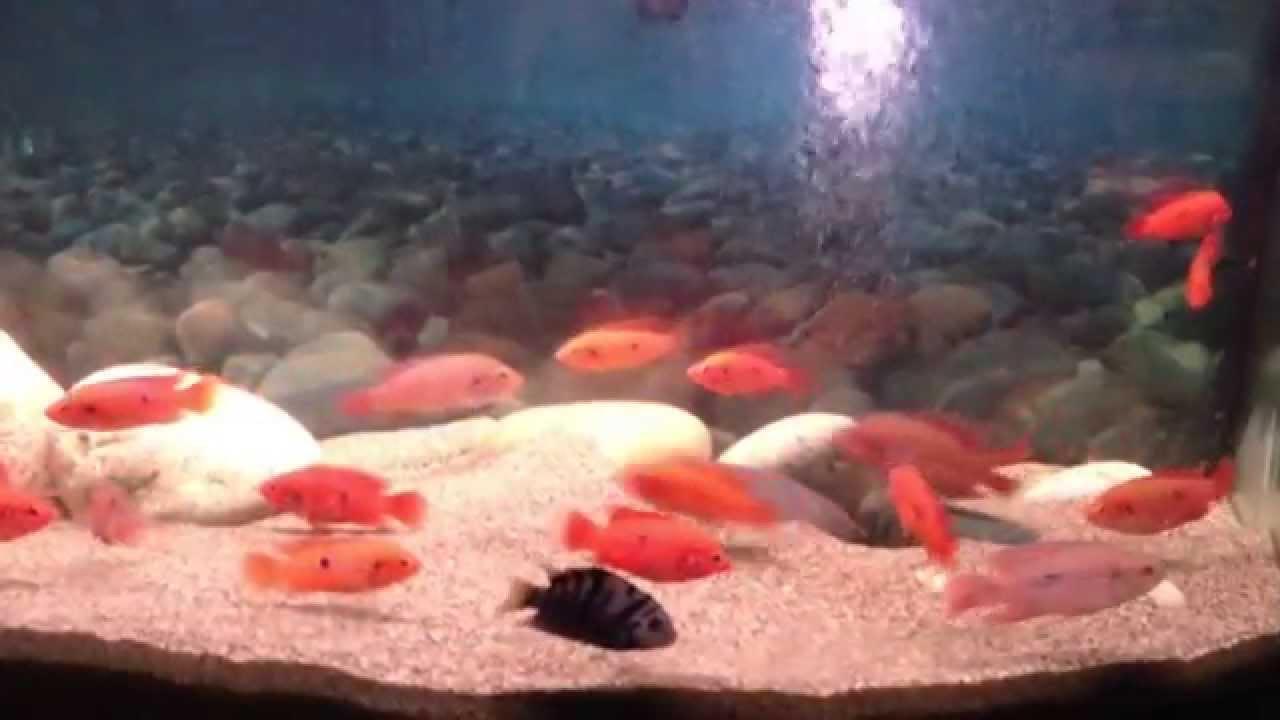 Freshwater jewel fish - Jewel Cichlid Aquarium