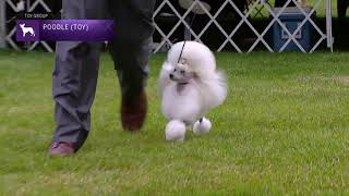 Poodles Toy   Breed Judging 2021