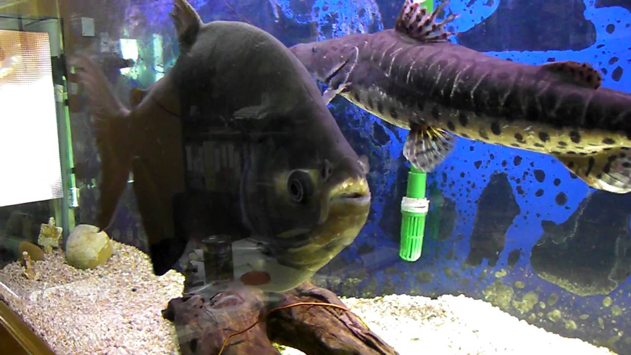 7 video pecera con surubi y pacu en mi acuario 22 07 2011 for Peceras con peces