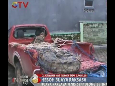 Viral!! Warga Kalteng Temukan Buaya Raksasa Langka Seberat 1 Ton - BIP 11/01