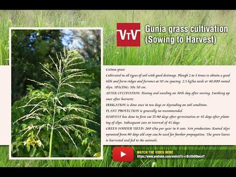 Gunia grass cultivation
