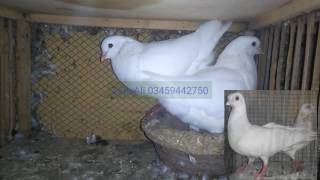 King pigeons in white color farming in Pakistan 03459442750 Zain Ali