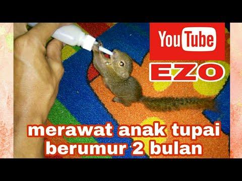 Tupai Kelapa U 2 Bulan,name EZO