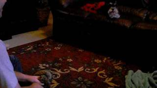 Moxie Miniature Schnauzer