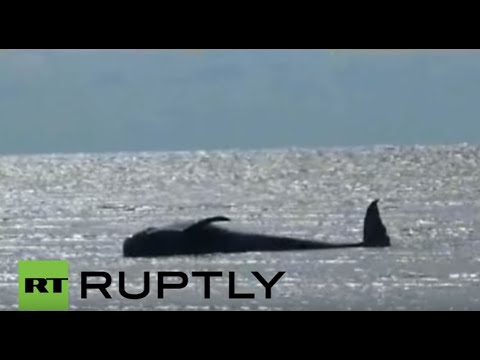 Indonesia: At least 8 whales dead after dozens stranded on coast of Java