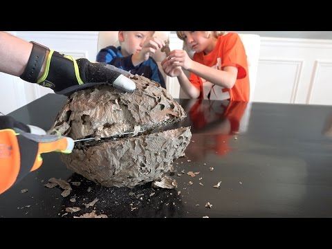 What's inside a Giant Wasp Nest?