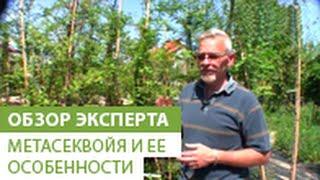 видео Сосна веймутова и особенности ее размножения
