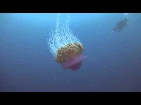 Lions Maine Jellyfish, Maldives