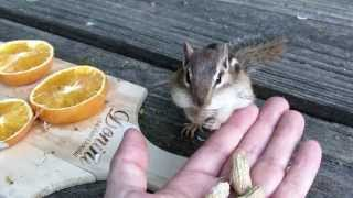 lord humongous the chipmunk eating peanuts day 2