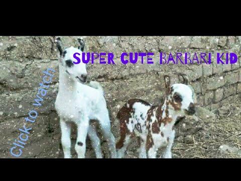 Baixar Barbari Goats of Balochistan - Download Barbari Goats