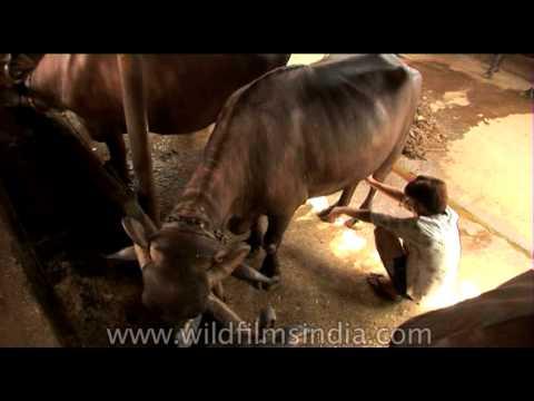 Managing a buffalo farm in Delhi, India