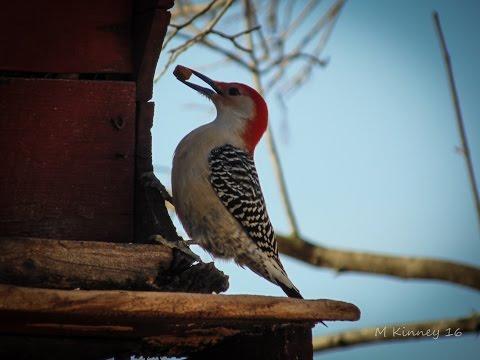 Pennsylvania Live Bird Feeder - Cardinals, Blue Jays, Titmouse, others