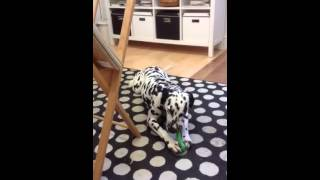 Luna The Dotty Dog Gallery Dalmatian Finds Her Voice