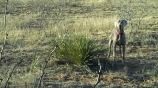 Surfer The Bird Dog Dove Hunt Seminole Texas Weimaraner