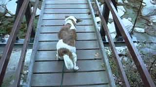 尾白川渓谷の高くて揺れる吊橋を匍匐前進でゆっくり歩く犬。