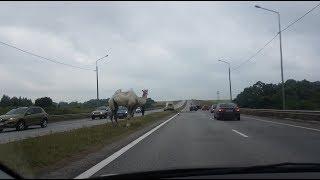 Бегающий по трассе Тула — Новомосковск верблюд попал на видео