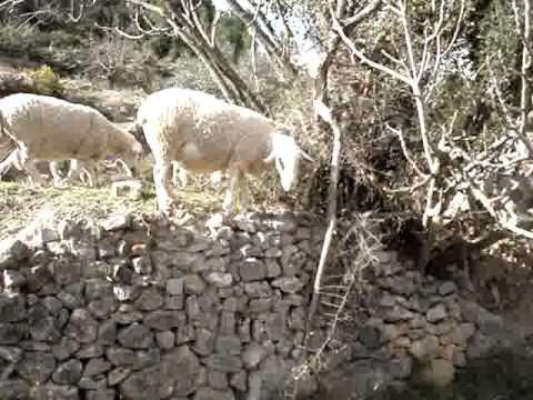 Rebaño de ovejas en El Tormo
