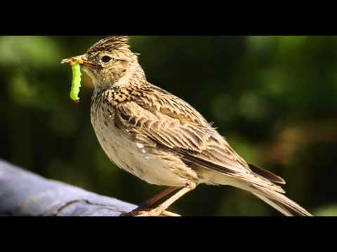 Skylark Bird Call Bird Song