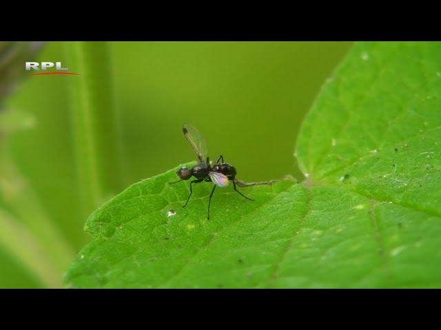 Natuur in de omgeving: De dans van het wenkvliegje