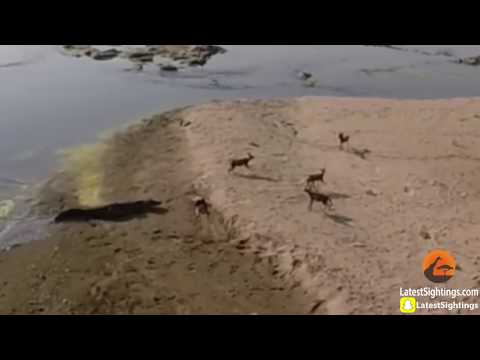Nile Crocodile Steals Wild Dog's Kill - Latest Wildlife Sightings
