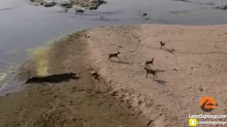 Nile Crocodile Steals Wild Dog