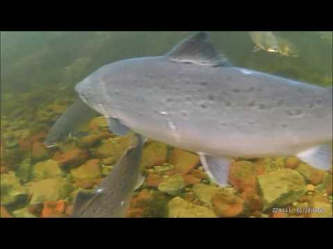 600 salmon in one pool camera underwater